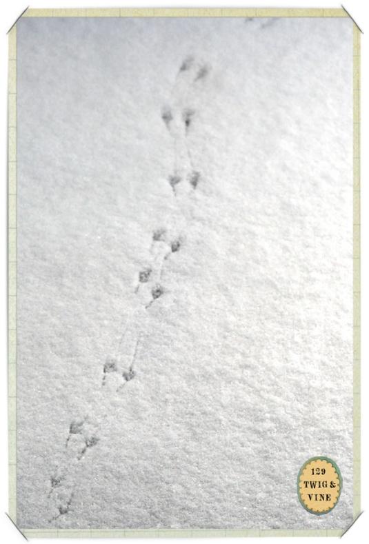 129twigandvine_snowprints