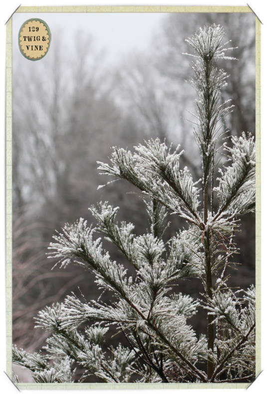 129twigandvine_snowy_pine