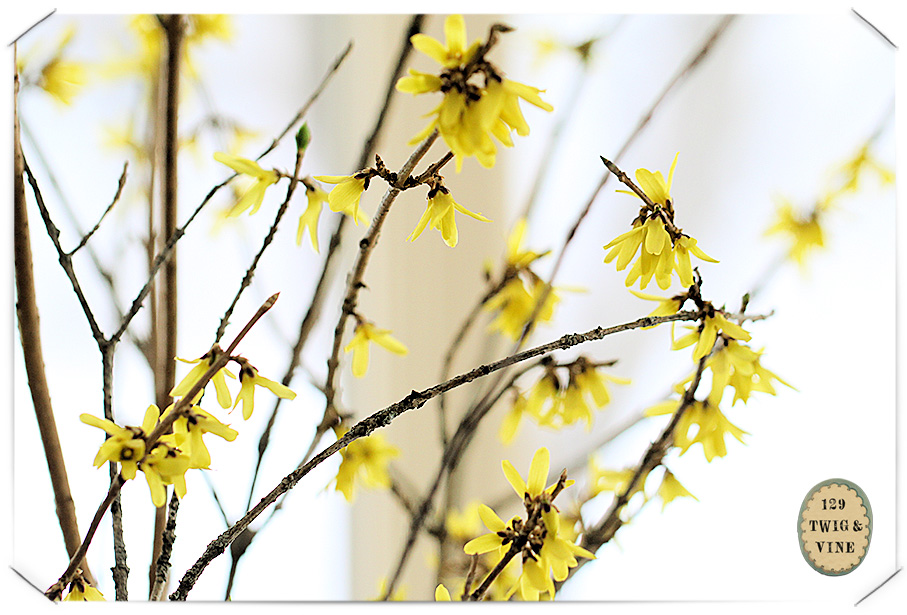 forced forsythia blooms
