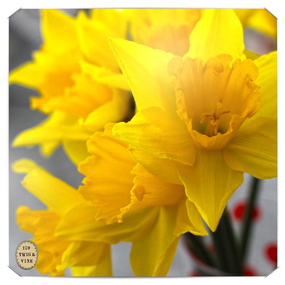 129twigandvine_daffodils