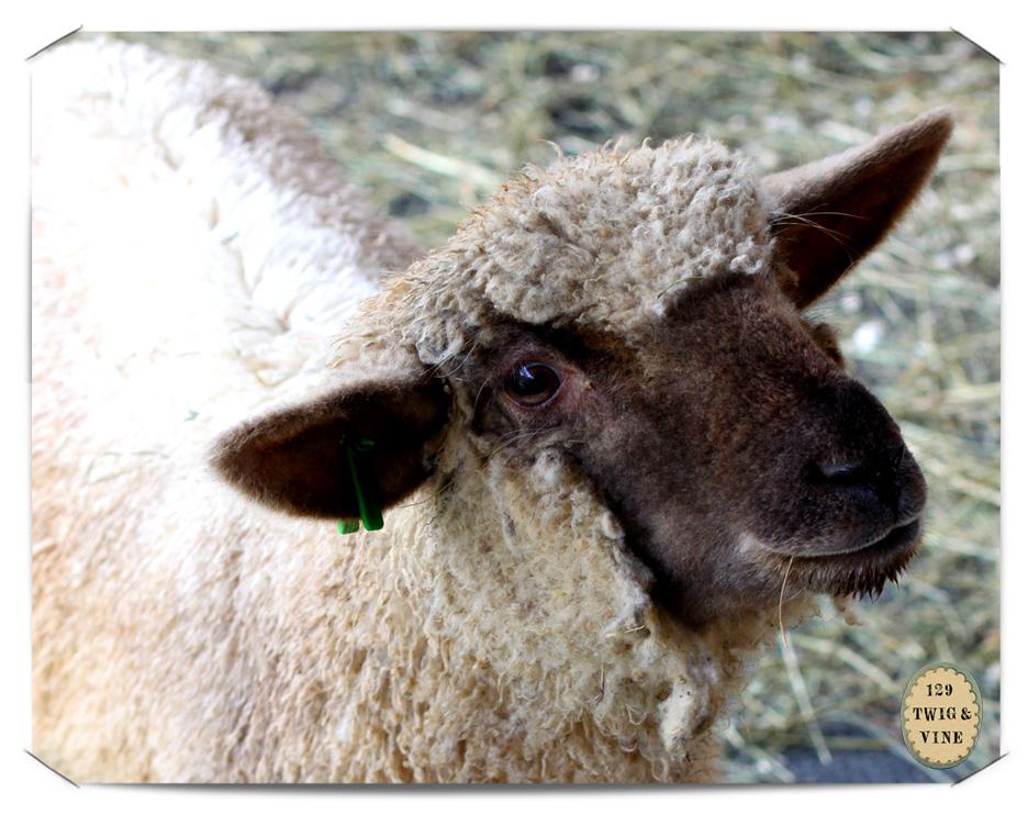 129twigandvine—lamb, Ivan