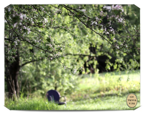 129twigandvine — apple blossoms, vermont morning