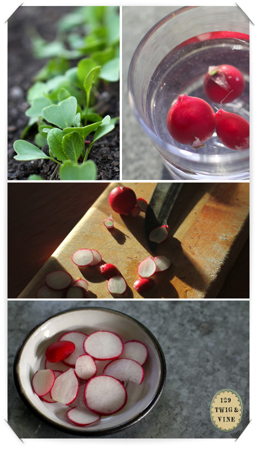 129twigandvine radishes, photograph by Sue Schlabach